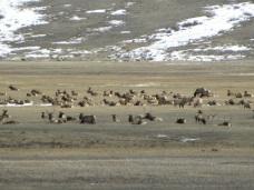 elk herd at refuge
