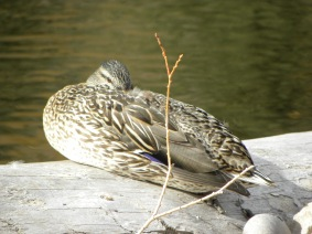 sleeping duck