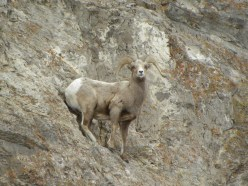 big horn sheep on mountain - photo by Hubby