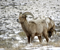 big horn sheep by road