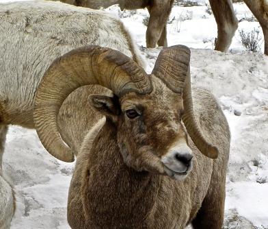 big horn sheep close up