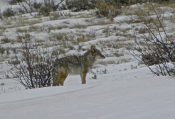 Coyote - photo by Hubby