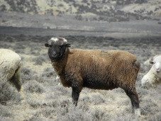 older brown sheep
