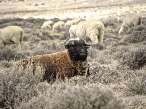 older brown sheep sitting