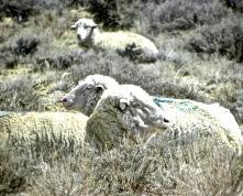 marked white sheep