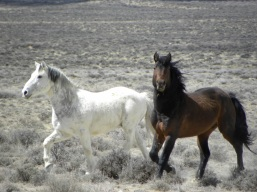 Wyoming Wild Mustangs