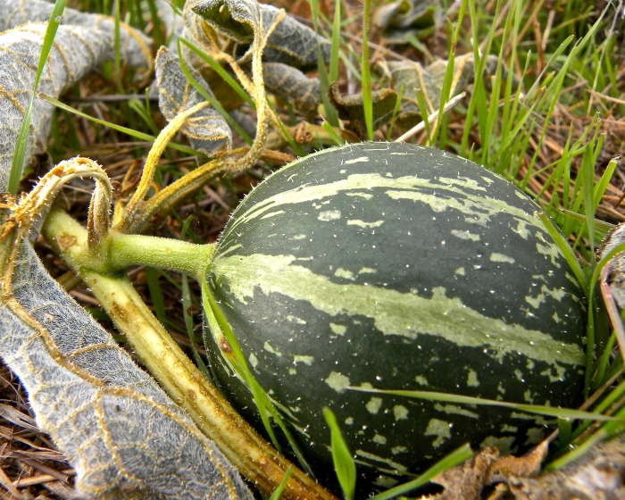 gourd on ground at Jesse Chisholm grave site