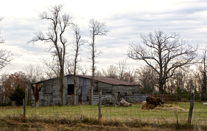 country barn and cow