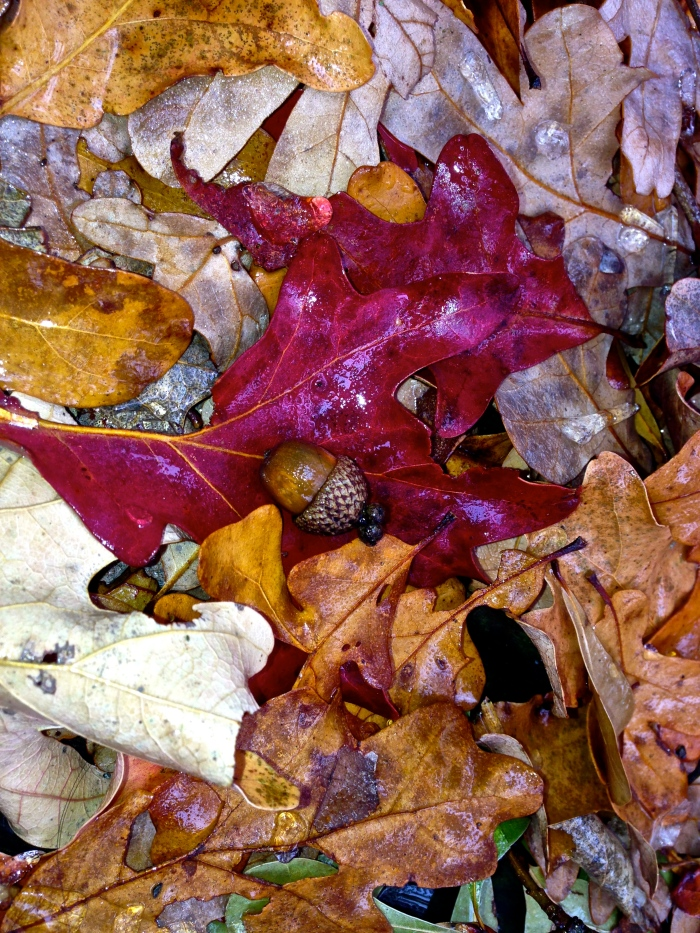 autumn leaf and acorn 2013