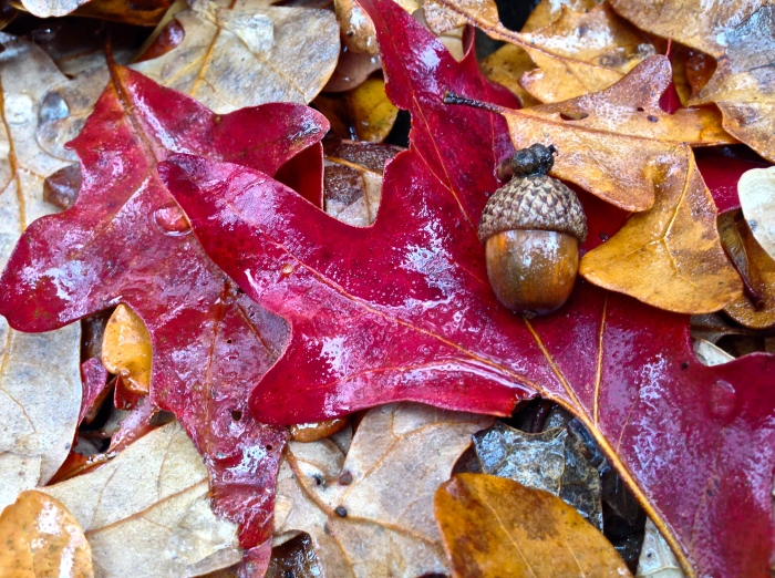 autumn leaf and acorn v2 2013