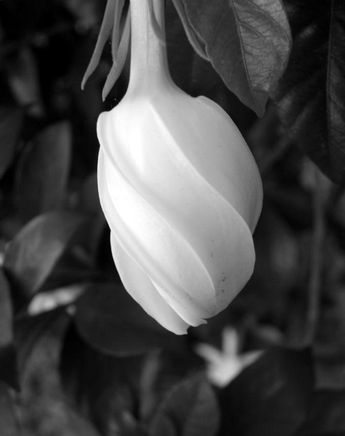 bw gardenia bud