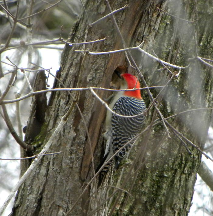 woodpecker working