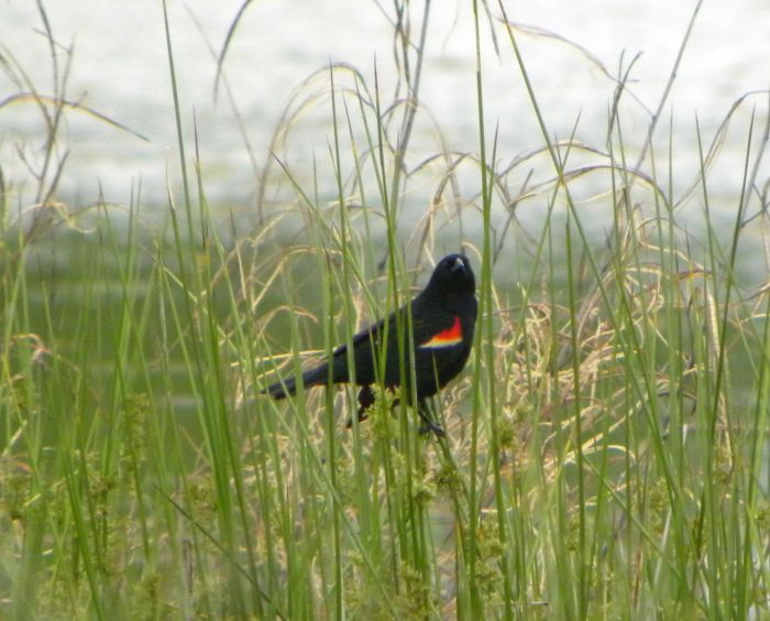 red winged blackbird in Muskogee