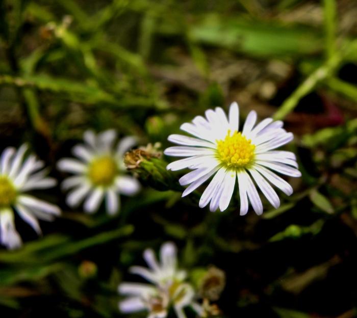 focal daisy