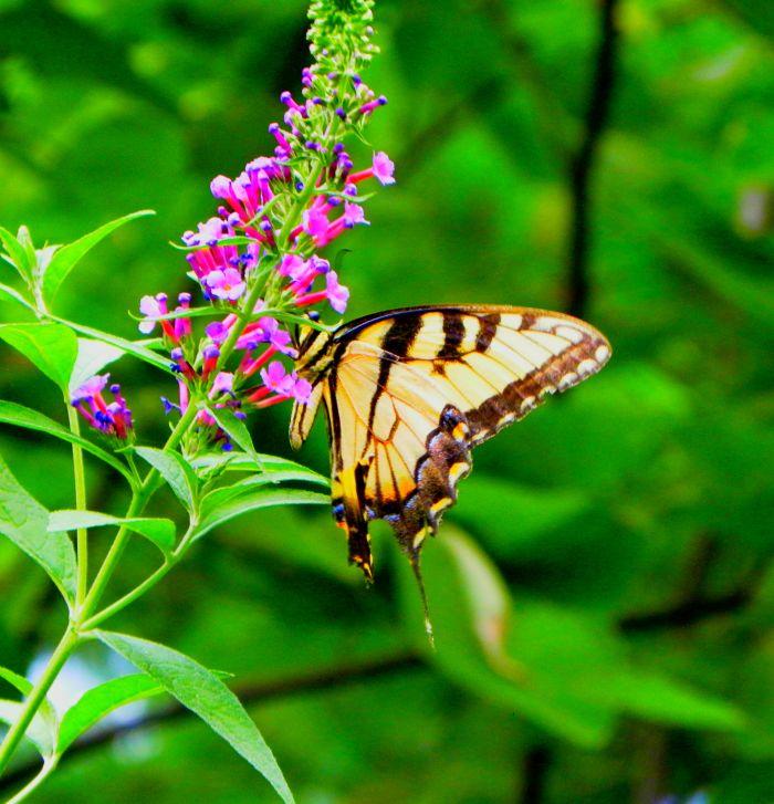ok-butterfly
